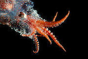 Bolitaena pygmaea Bolitaena pygmaea is a small, lower mesopelagic to bathypelagic octopus. (Octopoda)