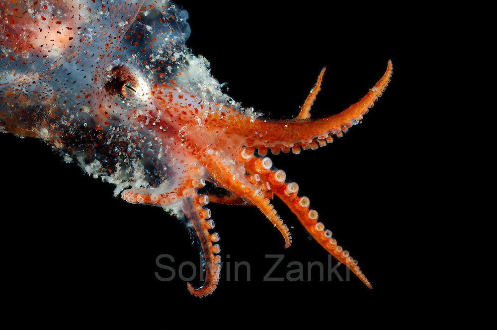 Bolitaena pygmaea Bolitaena pygmaea is a small, lower mesopelagic to bathypelagic octopus. (Octopoda)