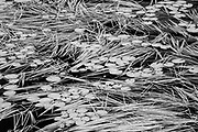Reeds and wite water lily pads on Isabel Lake<br /><br />Ontario<br />Canada