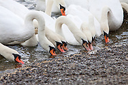 A lament of swans feeding by a lakeside or large pond. a lakeside or large pond.