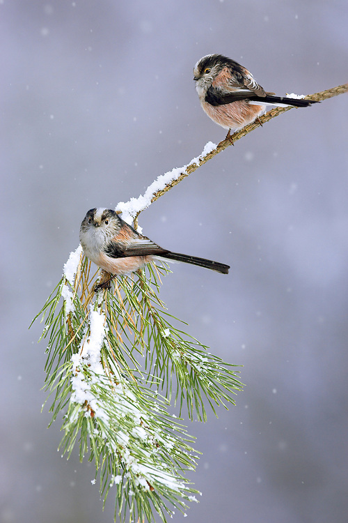 Long-tailed tits, Aegithalos caudatus, pair perched on pine branch in snowfall, Cheshire, UK