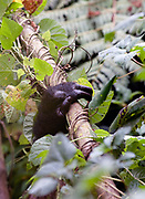 Gorilla hand in Bwindi Impenetrable forest.