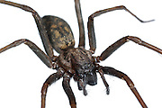 Hauswinkelspinne (Tegenaria atrica) Spinne | House spider (Tegenaria atrica)
