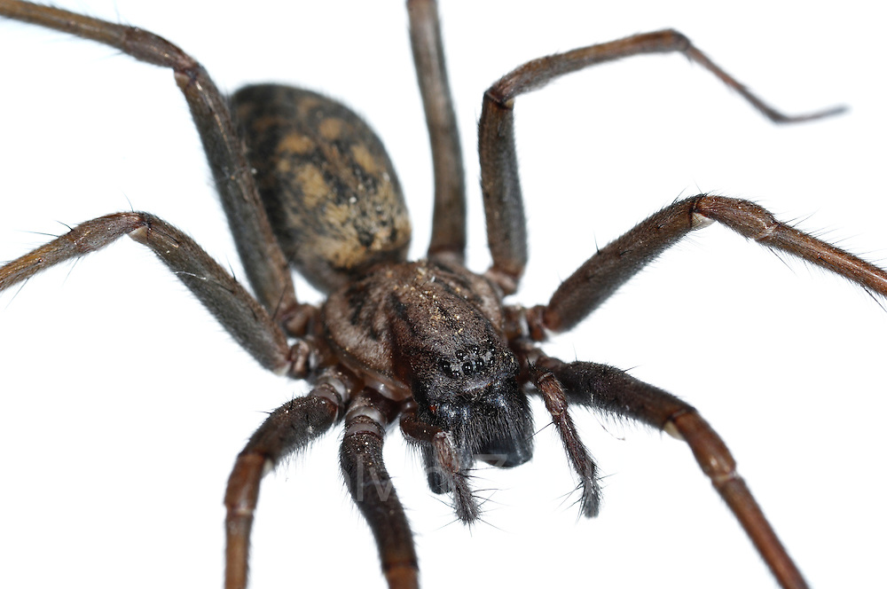 Hauswinkelspinne (Tegenaria atrica) Spinne   House spider (Tegenaria atrica)