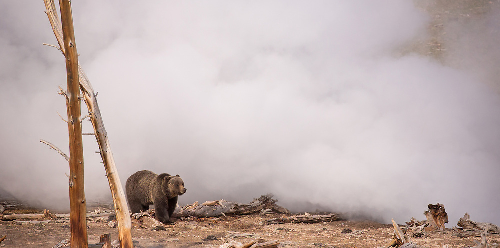 A lone grizzly travels through the steam and mist near Yellowstone's Mud Volcano. Bears will often seek out thermal areas in early spring to feast on the grasses, greened up by the heat of the thermal springs.