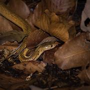 Sumatran Spitting Cobra (Naja sumatrana) in situ in Trang, Thailand