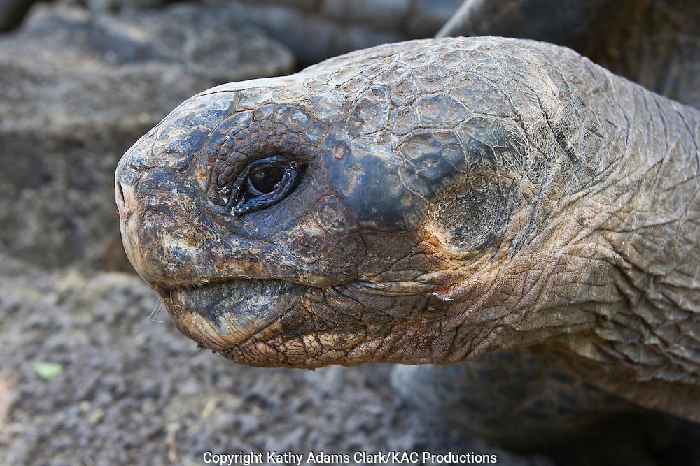 Galapagos tortoise, Geochelone elephantopus, Santa Cruz Island, Galapagos, Ecuador.