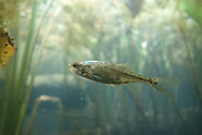Oregon Chub, Underwater