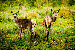 Young red deer hinds in Glen Etive, Highlands of Scotland<br /> <br /> (c) Andrew Wilson | Edinburgh Elite media