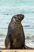 Hooker's Sea Lion, Waipapa Point, Southland, New Zealand