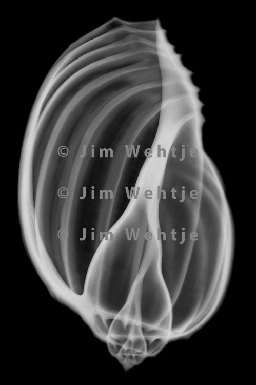 X-ray image of an articulate harp seashell (white on black) by Jim Wehtje, specialist in x-ray art and design images.