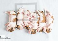 Kooiker Hondje Welpen, 2 Wochen alt