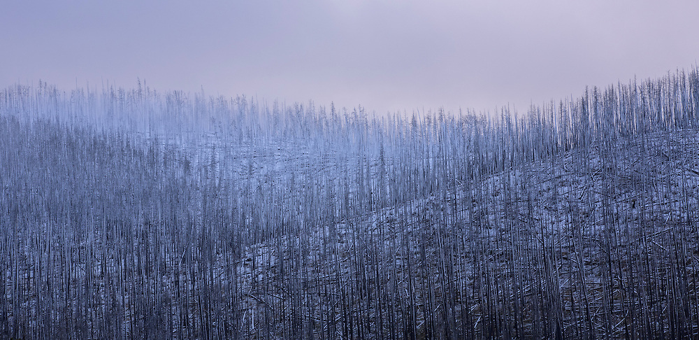 Snow from a September storm clings to the fire-ravaged pines along the shores of Yellowstone Lake.  These lodgepole pines were scorched by the flames of the East Fire, which roared through the area in August of 2003.