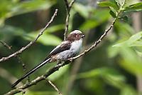Schwanzmeise Jungvogel, Aegithalos caudatus, Ost-Slowakei / Young Long-tailed Tit, Aegithalos caudatus, climbing, East Slovakia