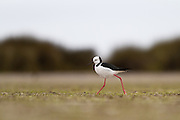 Pied Stilt, Waituna Wetlands, New Zealand