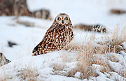 Short Eared Owl in sagebrush along the Snake River Canyon rim above the Snake River near Shoshone Falls and the city of Twin Falls in southern Idaho
