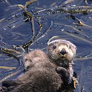 Sea Otter, (Enhydra lutris) Mother and baby in kelp . Aleutian Islands. Alaska.