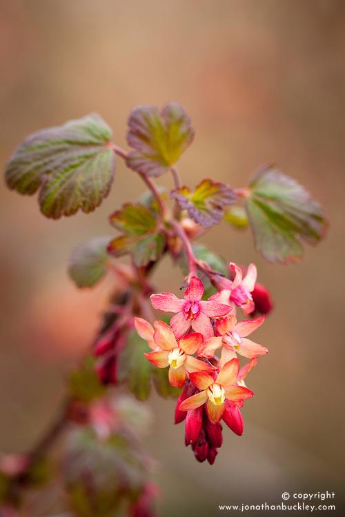 Ribes x gordonianum. Flowering currant