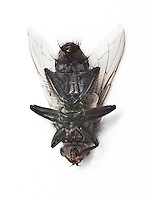 Dead housefly lying over white background