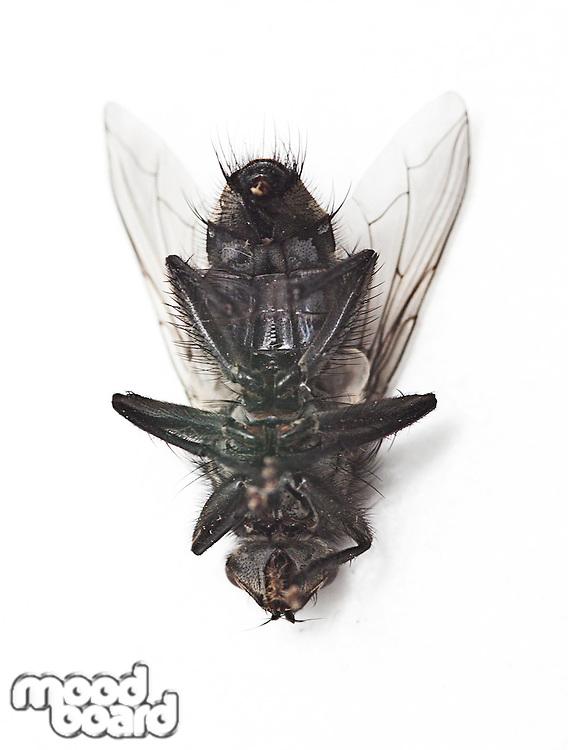 Dead housefly lying over white background