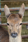 Female red deer (Cervus elaphus)