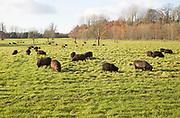 Black Hebridean sheep grazing in pasture, Blackland Park, near Calne, Wiltshire, England, UK
