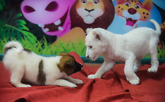 APR 21 2014 Two-month-old white lion cub playing