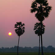 Sunset in Suphan Buri province Thailand with Borassus flabellifer - Asian Palmyra Palm trees