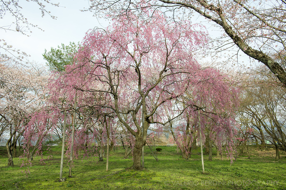 A weeping cherry tree in the park just outside Hikone Castle. This tre has more pink flowers compared to the most common tree.