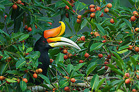 Rhinoceros Hornbill (Buceros rhinoceros)<br /> Male feeding on fruits of strangler fig Ficus dubia<br /> <br /> Halabala Wildlife Sanctuary<br /> Narathiwat Province, Thailand