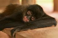 El Mono araña, también llamado coatá, es el nombre que reciben los monos del género Ateles, caracterizados por sus miembros largos y su extraordinaria agilidad.<br /> <br />  El cerebro del mono araña es grande y tiene cierta semejanza con el de los monos superiores del Viejo Mundo. El cuerpo del mono araña está cubierto por un pelaje gris-amarillento, negro, pardo o castaño, que es más claro en las partes inferiores y los ojos están bordeados por un anillo blanco que les confiere un aspecto característico.<br /> <br /> ©Alejandro Balaguer/Fundación Albatros Media.
