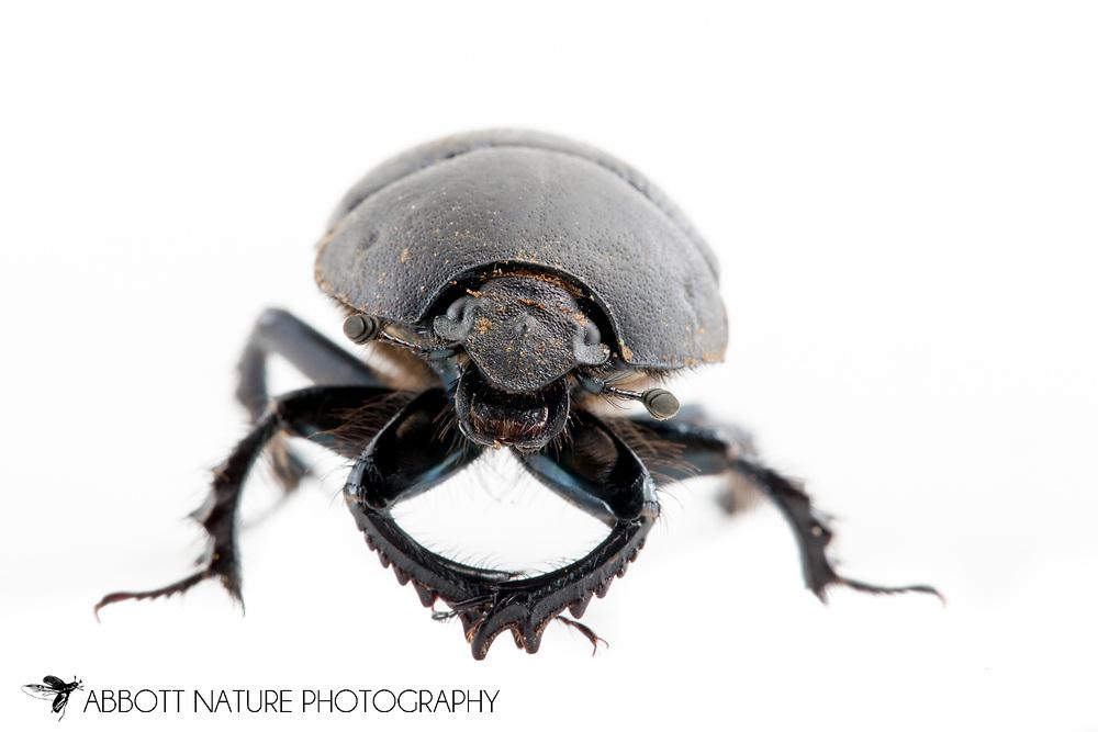Opaque Earth Boring Beetle (Geotrupes opacus)<br /> TEXAS: Burnet Co.<br /> Inks Lake State Park<br /> 25-Oct-2014<br /> J.C. Abbott &amp; K.K. Abbott