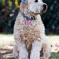 Soft Coated Wheaten Terrier sitting
