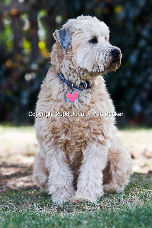 Soft Coated Wheaten Terrier sitting