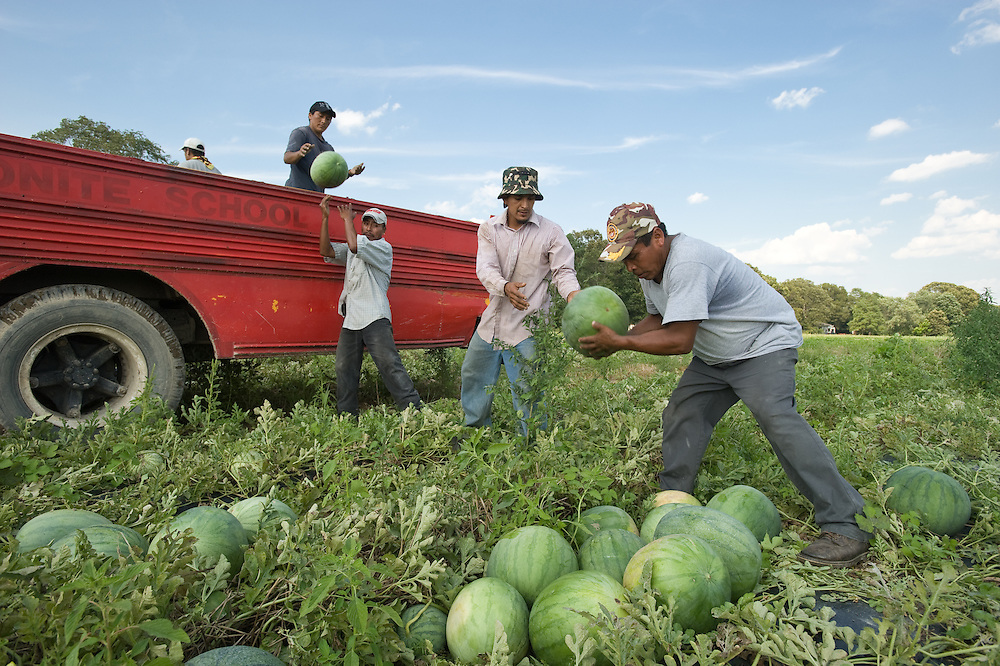 Workers picking watermelons from field