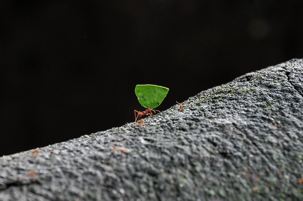 Leaf-cutting ant carrying his leaf across a fallen branch, Costa Rica.