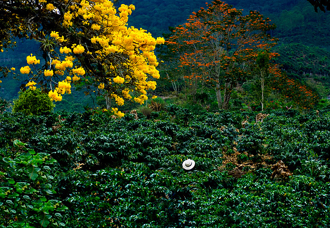 A coffee farmers hat stands out among the many coffee plants on his coffee farm in the Orosi Valley of Costa Rica.  The flowering Cortez amarillo tree bursts with yellow flowers.