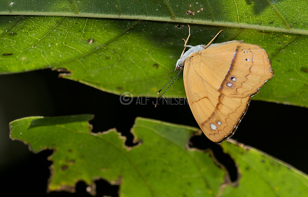 Little Banner (Nica flavilla) from the Amazon, Mato Grosso, Brazil.