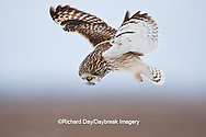 01113-012.13 Short-eared Owl (Asio flammeus) in flight at Prairie Ridge State Natural Area, Marion Co., IL