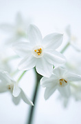 Narcissus Paperwhite 'Ziva' - multi-headed daffodil