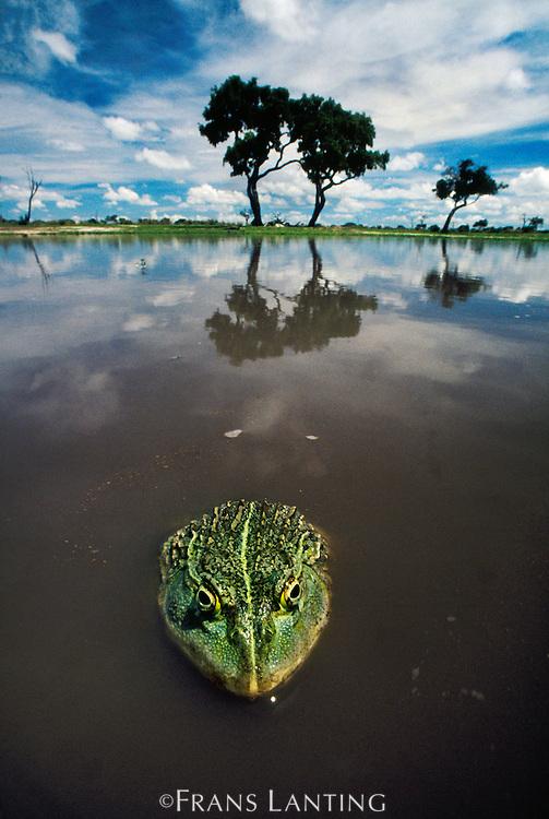 African bullfrog, Pyxicephalus adspersus, Chobe National Park, Botswana