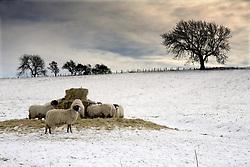 July 21, 2019 - Sheep In Field Of Snow, Northumberland, England (Credit Image: © John Short/Design Pics via ZUMA Wire)