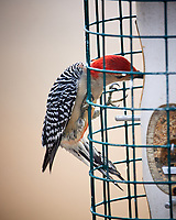 Red-bellied Woodpecker. Image taken with a Nikon D5 Camera and 600 mm f/4 VR lens (ISO 400, 600 mm, f/4, 1/640)
