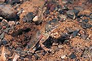Toad-headed agama<br /> (Phrynocephalus)<br /> Gobi Desert<br /> Mongolia