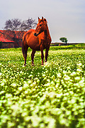 Horse grazing in a  reach green meadow with white flowers