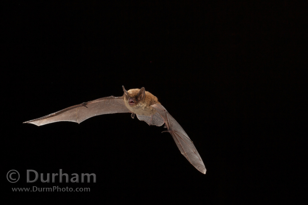 Female northern long-eared myotis (Myotis septentrionalis) photographed in the Cherokee National Forest, Tennessee.