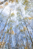 Birch trees photographed in November, in a Cheshire woodland.