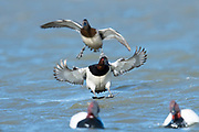 Canvasback, Aythya valisineria, male, Saginaw Bay, Michigan