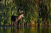 White-tailed deer buck standing at the edge of a pond.