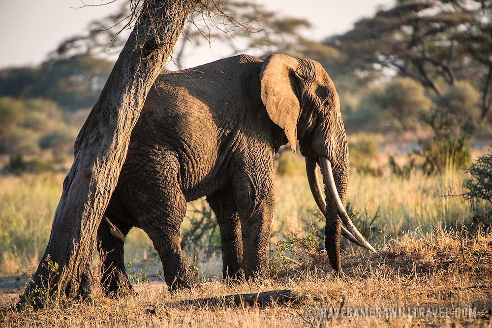 An elephant with very long tusks in the late afternoon sun at Tarangire National Park in northern Tanzania not far from Ngorongoro Crater and the Serengeti.